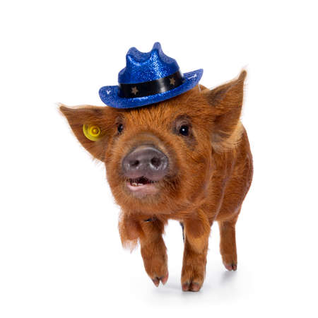 Cute Kunekune piglet, wearing blue glitter cowboy hat on head. Walking towards camera, looking straight ahead. Isolated on white background. Mouth open showing teeth. Stockfoto