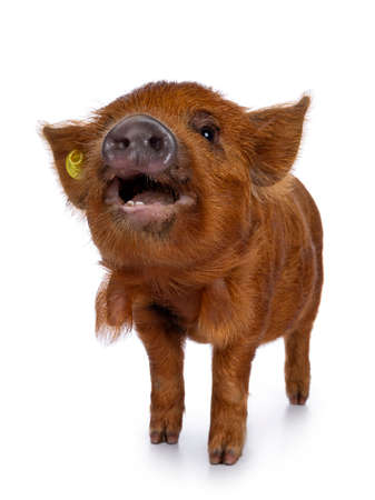 Adorable ginger Kunekune piglet, standing facing front. Looking curious with open mouth towards camera. Isolated on white background. Muzzle in air.