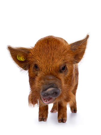Adorable ginger Kunekune piglet, standing facing front. Looking curious with open mouth towards camera. Isolated on white background. Head down.
