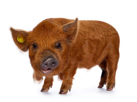 Adorable ginger Kunekune piglet, standing side ways. Looking curious with open mouth towards camera. Isolated on white background.