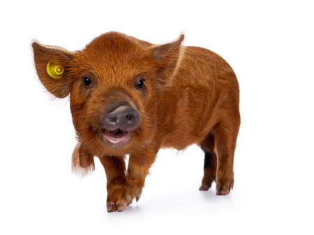 Adorable ginger Kunekune piglet, walking side ways. Looking curious with open mouth towards camera. Isolated on white background. Stockfoto