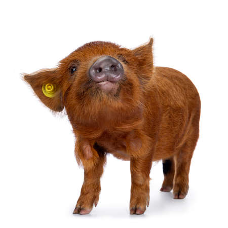 Adorable ginger Kunekune piglet, standing side ways. Looking curious  towards camera. Isolated on white background.  Head up.