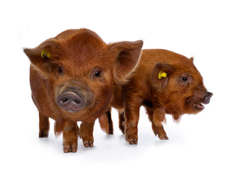 2 Adorable ginger Kunekune piglets, standing together. Looking with at  beside camera. Isolated on white background.