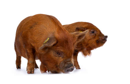 2 Adorable ginger Kunekune piglets, standing together side ways. Looking to the side. Isolated on white background. Stockfoto