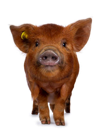 Adorable ginger Kunekune piglet, standing facing front. Looking curious towards camera. Isolated on white background. Stockfoto