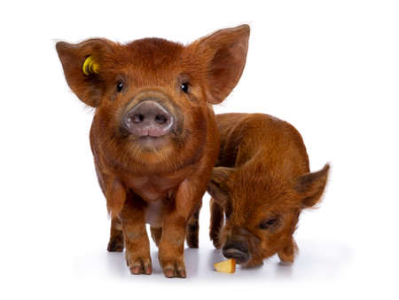 2 Adorable ginger Kunekune piglets, standing together. Looking straight at camera, the other one eating apple from floor. Isolated on white background.