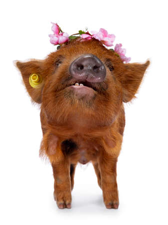 Adorable ginger Kunekune piglet, standing facing front. Looking curious above camera. Isolated on white background. Wearing pink flower wreath. Showing teeth. Stockfoto