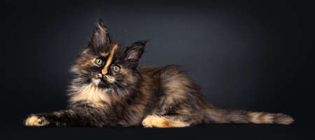 Incredible patterned tortie Maine Coon cat kitten, laying side ways. Looking at camera with greenish eyes. Isolated on black background.