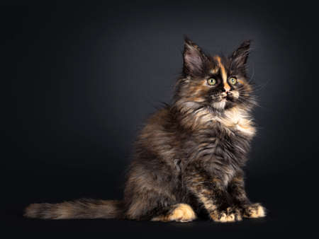 Incredible patterned tortie Maine Coon cat kitten, sitting side ways. Looking beside camera with greenish eyes. Isolated on black background.