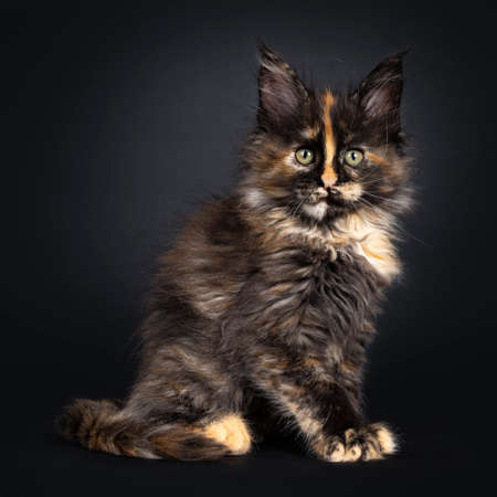 Incredible patterned tortie Maine Coon cat kitten, sitting side ways. Looking at camera with greenish eyes. Isolated on black background. Stockfoto