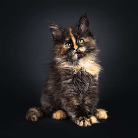 Incredible patterned tortie Maine Coon cat kitten, sitting side ways. Looking above camera with greenish eyes. Isolated on black background. Stockfoto