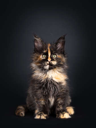 Incredible patterned tortie Maine Coon cat kitten, sitting facing front. Looking curious at camera with greenish eyes. Isolated on black background.