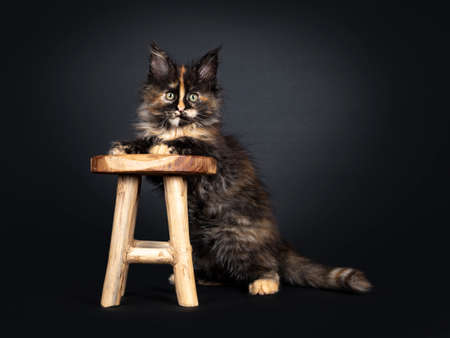 Incredible patterned tortie Maine Coon cat kitten, standing with front paws on little wooden stool. Looking beside camera with greenish eyes. Isolated on black background.
