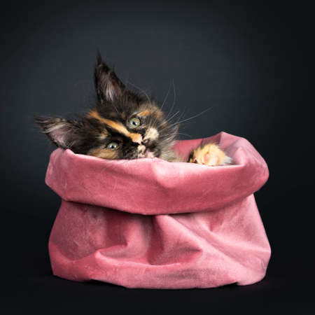 Incredible patterned tortie Maine Coon cat kitten, sitting funny in pink velvet bag. Looking over edge with greenish eyes and paws. isolated on black background.