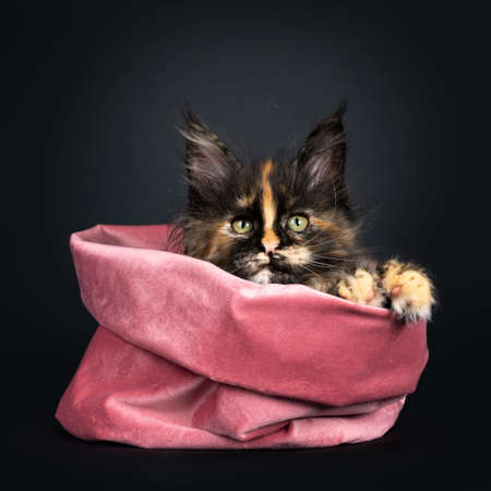 Incredible patterned tortie Maine Coon cat kitten, sitting in pink velvet bag. Looking over edge with greenish eyes and paws. isolated on black background.