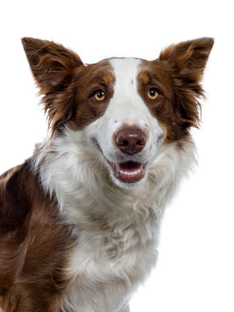 Head shot of naughty looking brown with white Border Collie. Looking at camera with yellow eyes. Ears up and mouth slightly open showing perfect teeth. Isolated on white background.