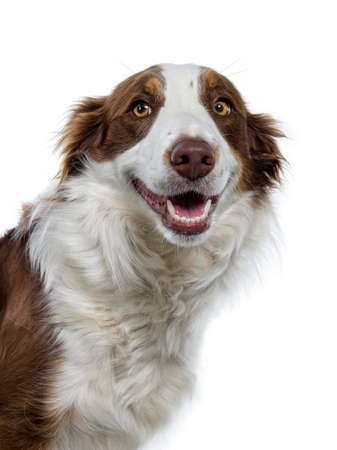 Head shot of naughty looking brown with white Border Collie. Looking at camera with yellow eyes. Ears down and mouth slightly open showing perfect teeth. Isolated on white background. Stockfoto