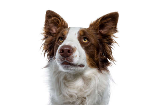 Head shot of naughty looking brown with white Border Collie. Looking up  waiting with yellow eyes. Ears up and mouth closed. Isolated on white background.