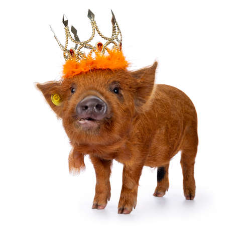 Ginger Kunekune piglet standing side ways, wearing orange crown. Looking at camera with naughty eyes. Isolated on white background.