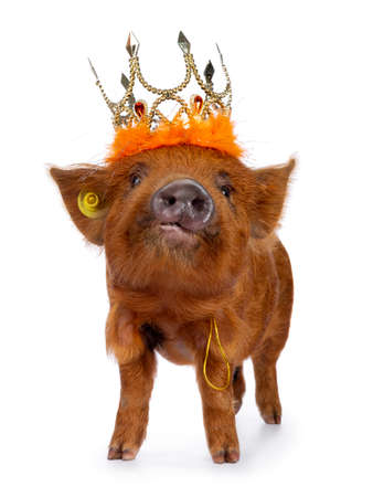 Ginger Kunekune piglet standing facing front, wearing orange crown. Looking at camera with naughty eyes. Isolated on white background. Nose up. Stockfoto