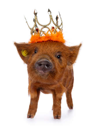 Ginger Kunekune piglet standing facing front, wearing orange crown. Looking at camera with naughty eyes. Isolated on white background.
