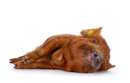 Ginger Kunekune piglet laying down side ways  sleeping. Looking at camera with naughty eyes. Isolated on white background.