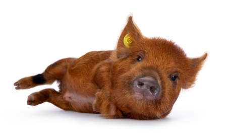 Ginger Kunekune piglet laying down side ways  rolling  getting up. Looking at camera with naughty eyes. Isolated on white background. Stockfoto
