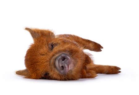 Ginger Kunekune piglet laying down side ways  sleeping. Looking at camera with sleepy eyes. Isolated on white background.