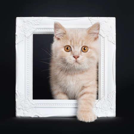 Cute creme British Shorthair kitten, sitting through white photo frame. Looking at camera with orange eyes. Isolated on black background. One paw through frame.