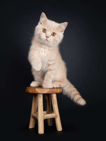 Cute creme British Shorthair kitten, sitting on wooden stool. Looking at camera with orange eyes. Isolated on black background. One paw in air