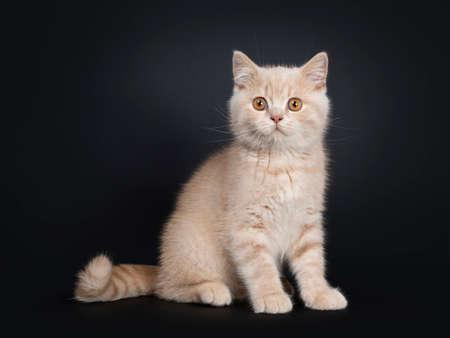 Cute creme British Shorthair kitten, sitting side ways. Looking beside camera with orange eyes. Isolated on black background.
