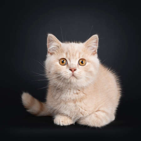 Cute creme British Shorthair kitten, laying down Facing front. Looking at camera with orange eyes. Isolated on black background.
