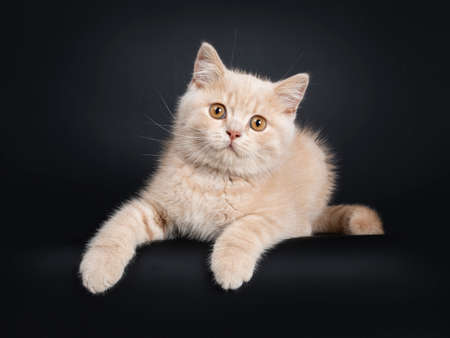 Cute creme British Shorthair kitten, laying down Facing front. Looking at camera with orange eyes. Isolated on black background. Front paws over edge. Stockfoto