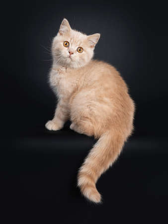 Cute creme British Shorthair kitten, sitting side ways. Looking at camera with orange eyes. Isolated on black background. Tail hanging down from edge. Stockfoto