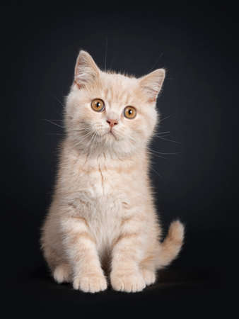 Cute creme British Shorthair kitten, sitting facing front. Looking beside camera with orange eyes. Isolated on black background.