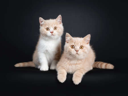 2 Creme and creme with white British Shorthair cat kittens sitting together facing front. Looking at camera with orange eyes. Isolated on black background. Stockfoto