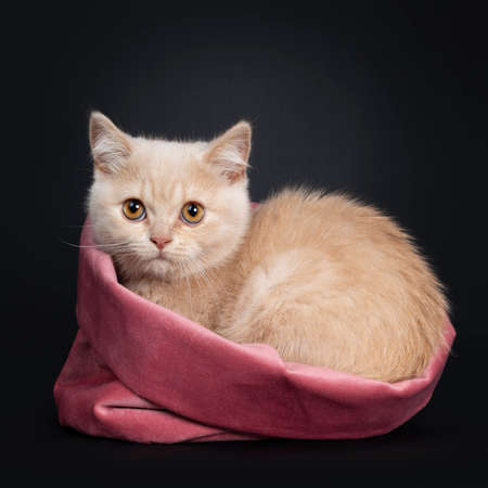 Cute shy creme British Shorthair kitten, laying down side ways in pink velvet bag. looking to camera with orange eyes. Isolated on a black background.