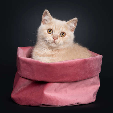 Cute shy creme British Shorthair kitten, sitting side ways in pink velvet bag. looking to camera with orange eyes. Isolated on a black background.