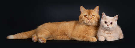Adult red with cute shy creme British Shorthair kitten, laying down together. Both looking to camera with orange eyes. Isolated on a black background.