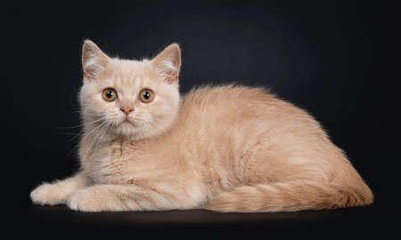 Cute shy creme British Shorthair kitten, laying down side ways. Looking to camera with orange eyes. Isolated on a black background.