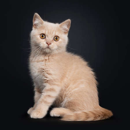 Cute shy creme British Shorthair kitten, sitting side ways. looking to camera with orange eyes. Isolated on a black background. Tail around body.