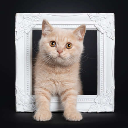 Cute shy creme British Shorthair kitten, standing facing front through white photo frame.Looking to camera with orange eyes. Isolated on a black background.
