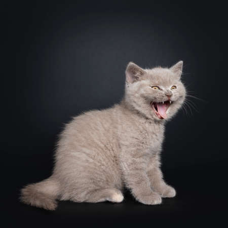 Funny laughing lilac British Shorthair cat kitten, sitting side ways. Mouth wide open  yawning. Isolated on black background.