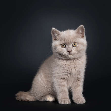 Fluffy lilac British Shorthair cat kitten, sitting side ways. Looking at camera with still developing eye color. Isolated on black background.