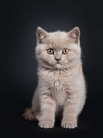 Fluffy lilac British Shorthair cat kitten, sitting facing front. Looking at camera with still developing eye color. Isolated on black background.