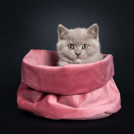 Fluffy lilac British Shorthair cat kitten, sitting in pink velvet bag. Looking at camera with still developing eye color. Isolated on black background. Stockfoto