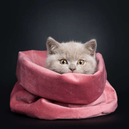 Fluffy lilac British Shorthair cat kitten, sitting in pink velvet bag. Looking naughty over the edge to camera with still developing eye color. Isolated on black background.