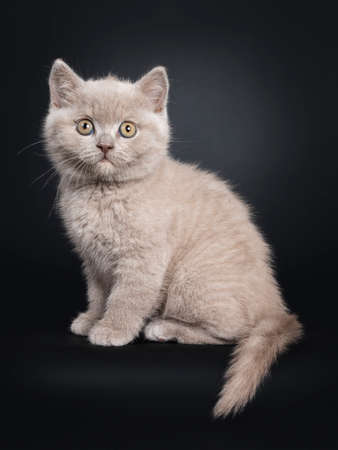 Fluffy lilac British Shorthair cat kitten, sitting side ways. Looking at camera with still developing eye color. Isolated on black background. Tail hanging down from edge.