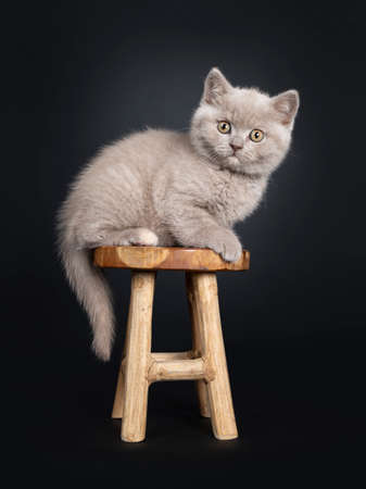 Fluffy lilac British Shorthair cat kitten, sitting  laying side ways on wooden stool. Looking at camera with still developing eye color. Isolated on black background. Tail hanging down from chair.