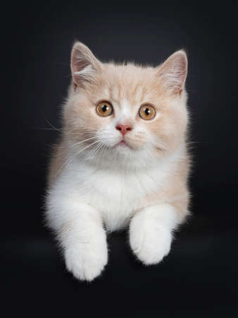 Sweet creme with white British Shorthair cat kitten, laying down with paws hanging over edge. Looking with orange developping eyes to camera. isolated on a black background.